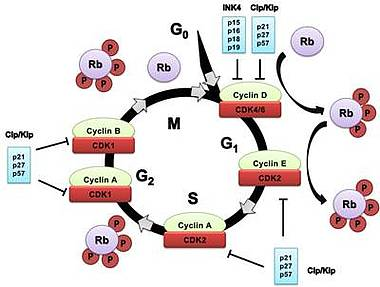 cyclin dependent kinase Cyclin-dependent kinases are a type of serine/threonine kinase which are activated by cyclins to drive the progress of the cell cycle the cell cycle is a comprised of 4 stages, which are tightly.